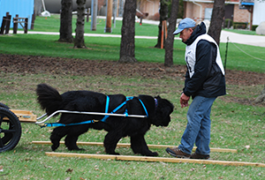 draft work with Newfoundland dogs