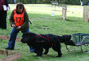 draft work newfoundland dog